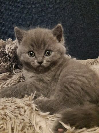 Продам котенка британец