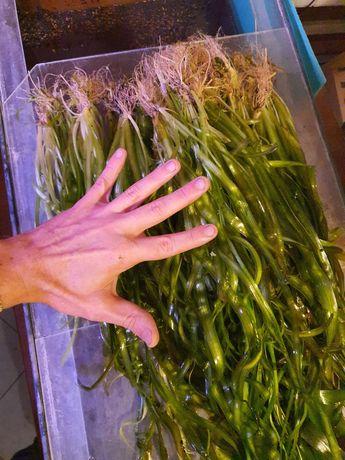 Rośliny do Akwarium Nurzaniec Dużo