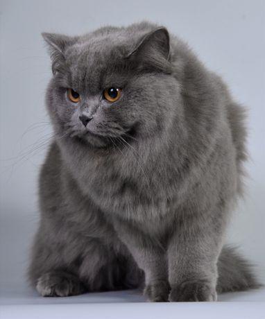 Кошечка британка приглашает котика британца.