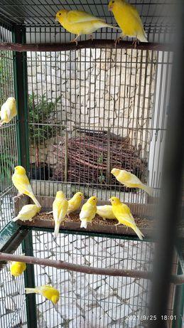 Canários 2021 Amarelos