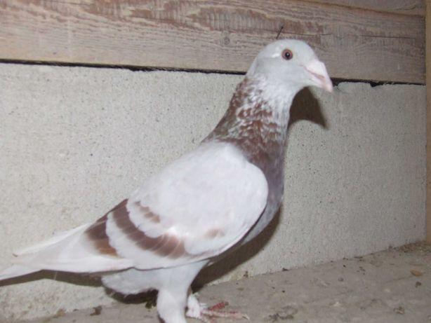 Gołębie staropolskie nr 2