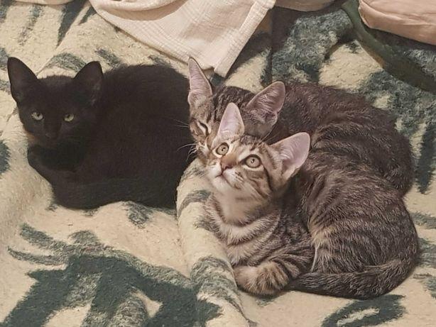 Gatos ibéricos para adopção