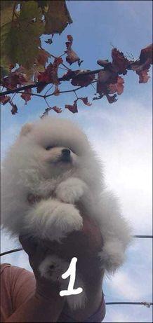 щенок шпица мальчик