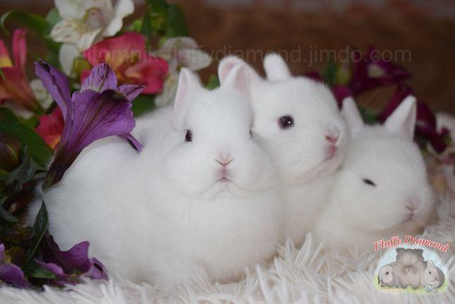 Белые снежинки гермелины. Карликовый кролик для всей семьи! Крольчата