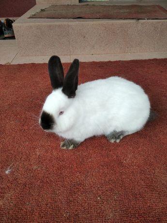 królik samiec Kalifornijski czarny KC czysto rasowy
