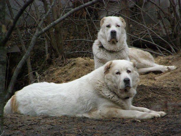Породистые щенки Алабая
