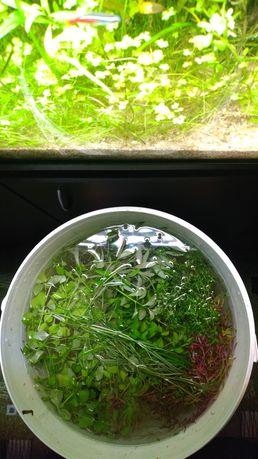 Rośliny (Hydrophilia Bacopa Ludwigia Pogostemon Rotala Hemianthus)