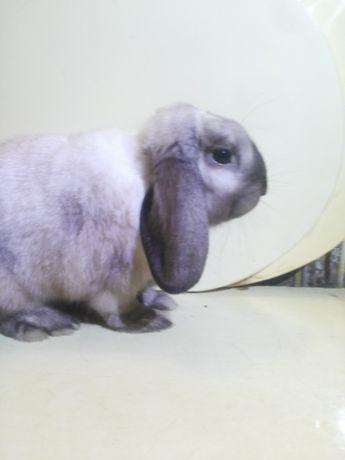 декоративные кролики мини баранчики MiniI Lop ( баран )
