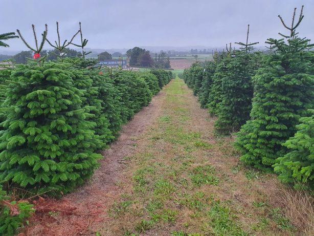 Jodła Kaukaska Plantacje Dania 200 - 250 cm / zamiast Świerk