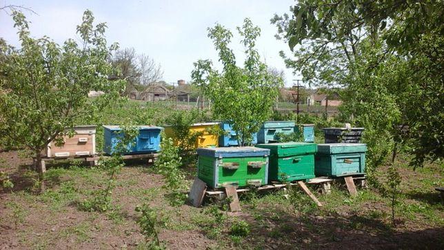 Пчелы, семьи с ульями!