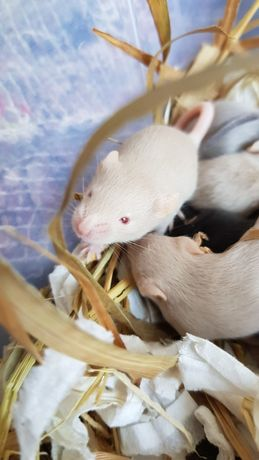 Ручные мышата мышки миші мишенята лучше хомяка