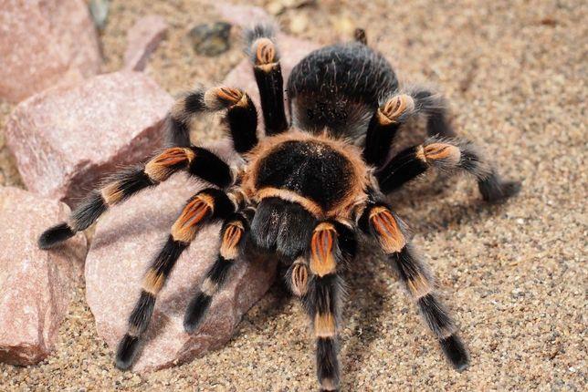 Самка паука птицееда 3 см по телу