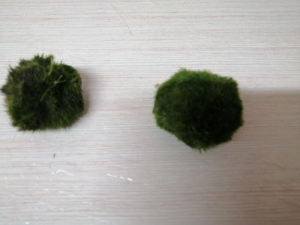 Gałęzatka kulista roślina do akwarium krewetkarium