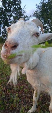 Козочки, ярки, зааненская коза