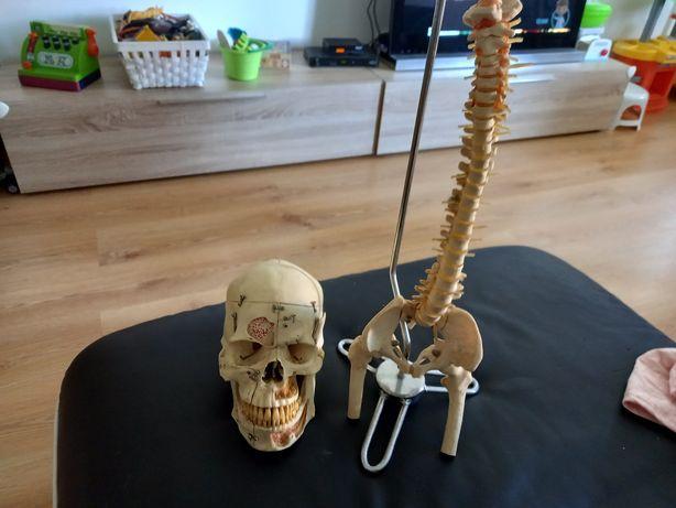 Cranio e coluna modelos anatómico