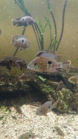 Ryby akwariowe, Akara pomarańczowopłetwa