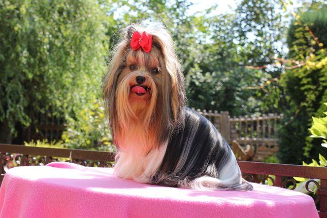 Mini-piesek -Biewer Yorkshire Terrier -Malusi -zobacz :)