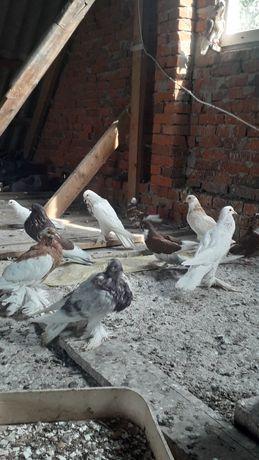 Продам голуби дутиші і капуцини