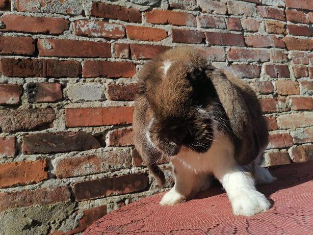 Zamienię króliki na kozy,kózki.