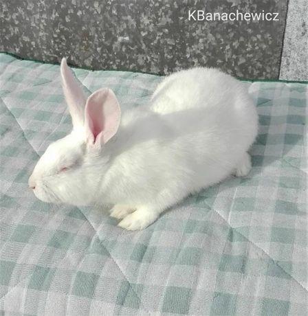 Samce termondzkie białe, króliki TB