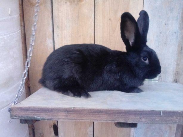 Tuszki z królika