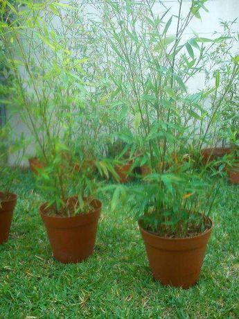 plantas de bambus naturais