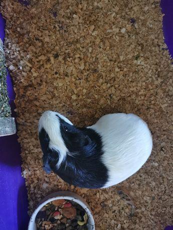 Świnka morska samiczka 12 miesięczna