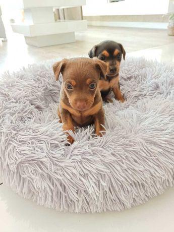 Pinczer miniaturka pieski suczka pies
