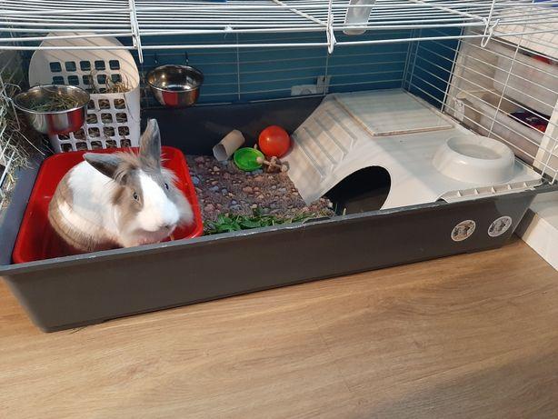 Królik,klatka dla królików,świnek gryzoni