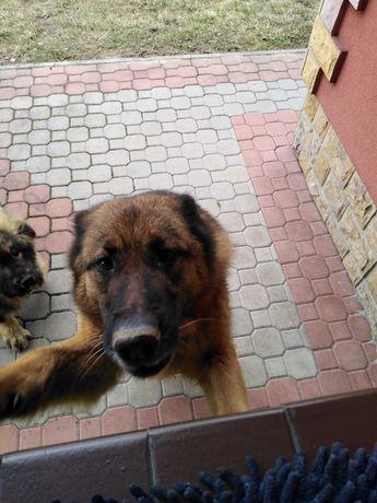 Oddam psa (owczarek niemiecki)