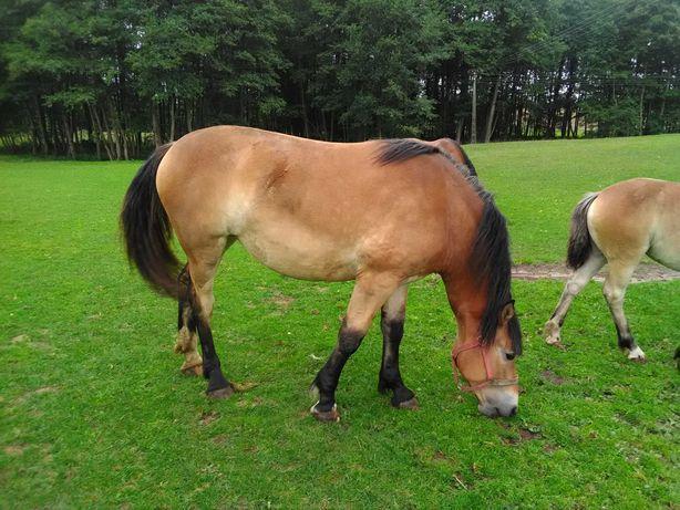 Klacz koń zimnokrwisty klaczka zimnokrwista