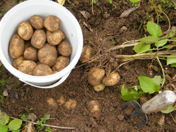 Ziemniaki jadalne LORD bardzo smaczne