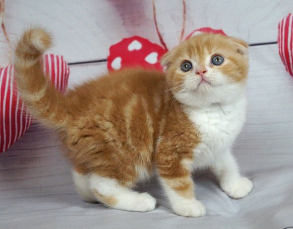 Мраморный вислоухий котенок от чемпионов.