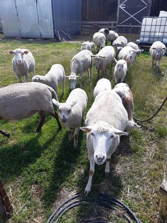 Owce na sprzedaż