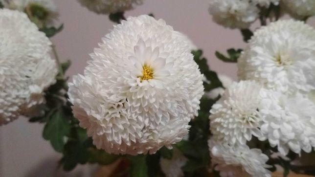 багаторічні квіти для саду - хризантеми, півонії, нарциси, інші