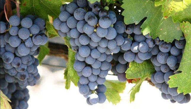 Uvas para vinho tintas e brancas