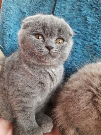 Висловуха кішечка