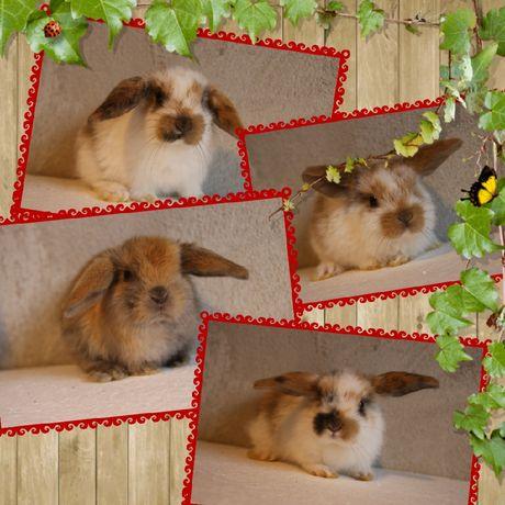Króliki Baranki Miniaturki, królik miniaturka