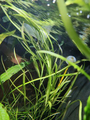 Heteranthera dubia, vallisneria tortifolia, zamienię za wgłębkę lub