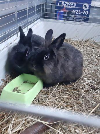 Królik miniaturka króliki samiczka samiczki samica