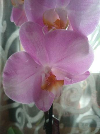 Крупная сортовая орхидейка фаленопсис
