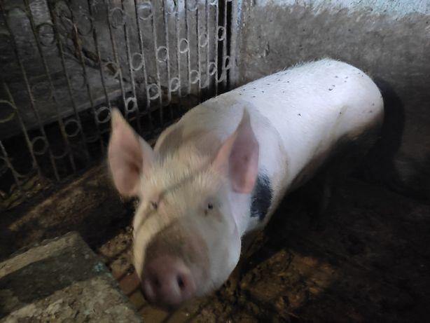 Продам не дорого свиню