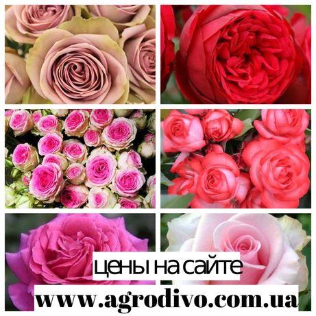 Саженцы роз (кустовые, плетистые, парковые, бардюрные, миниатюрные)