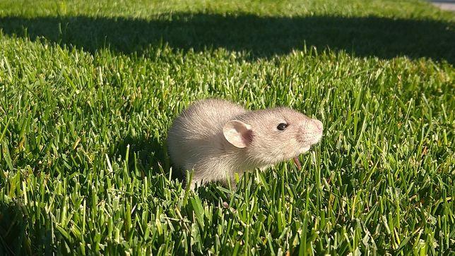 Крысята, крыски, крысеныши, крысы