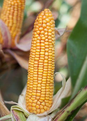 ROSOMAK - Nasiona kukurydzy