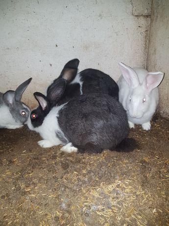 Coelhas de Criaçao,ja prenhas com coelho de raça grande.