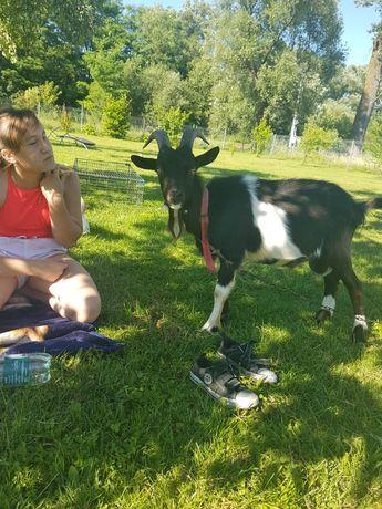 Kozioł koziołek cap koza