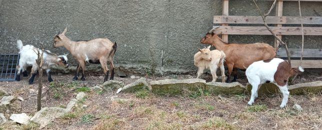 5 belas cabras anãs disponíveis... Infelizmente não tenho erva.