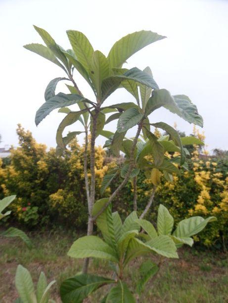 Nespereira - Árvore de fruto das nêsperas