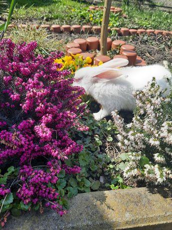 Termondzki biały króliki